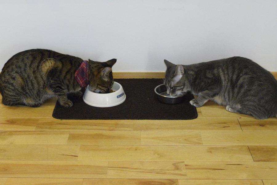 餌を食べる虎ノ介と向かい合って水を飲むサバトラ猫の春太