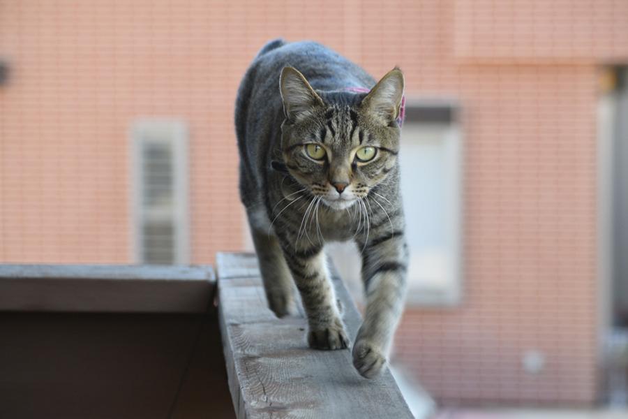 ベランダでくつろぐキジトラ猫の虎ノ介