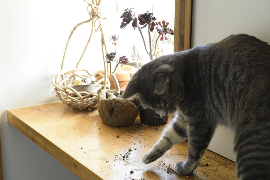鉢の土をまき散らして砂浴びするサバトラ猫の春太