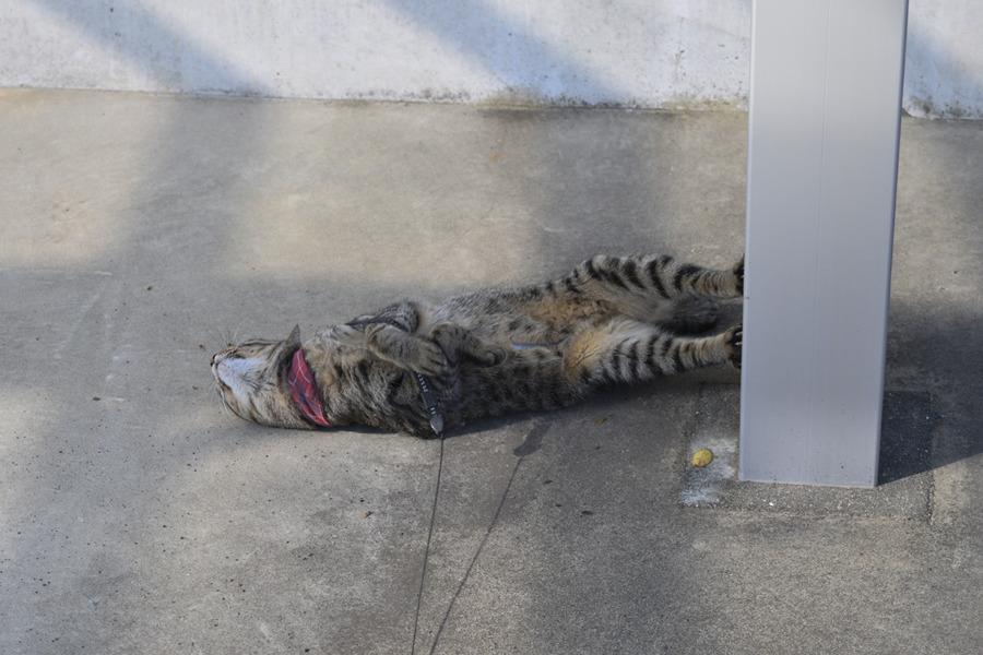 お隣の駐車場でくつろぐキジトラ猫の虎ノ介