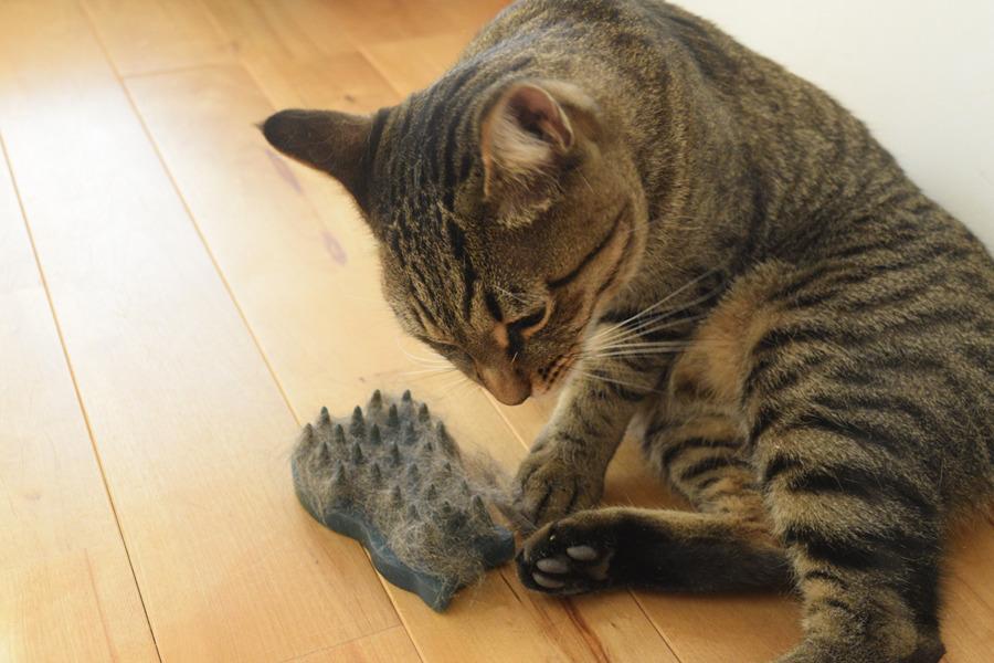 ブラッシングでとれた毛をチェックするキジトラ猫の虎ノ介