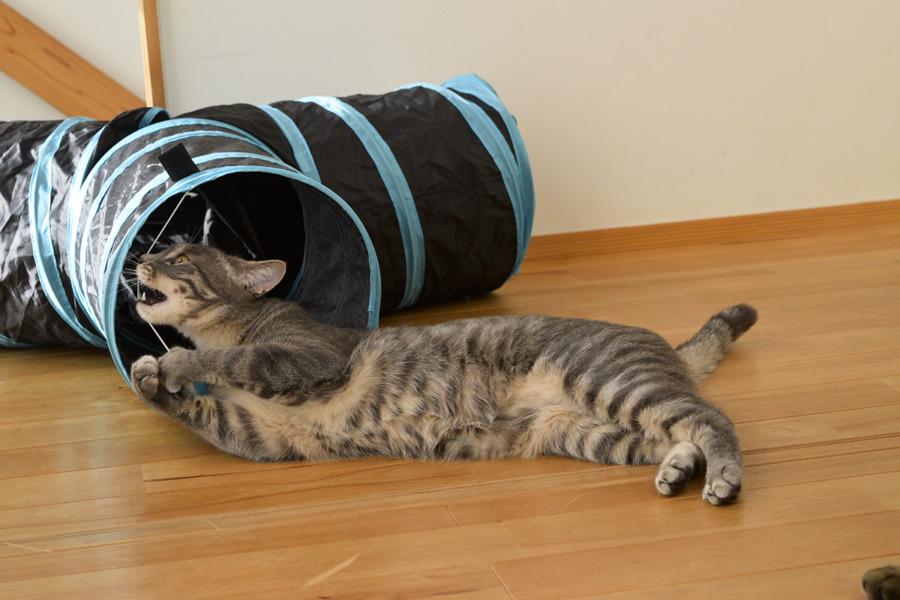 シャカシャカトンネルで遊ぶサバトラ猫の春太