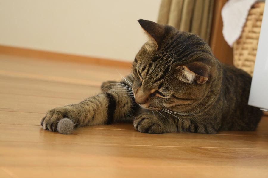自分の毛玉で遊ぶキジトラ猫の虎ノ介