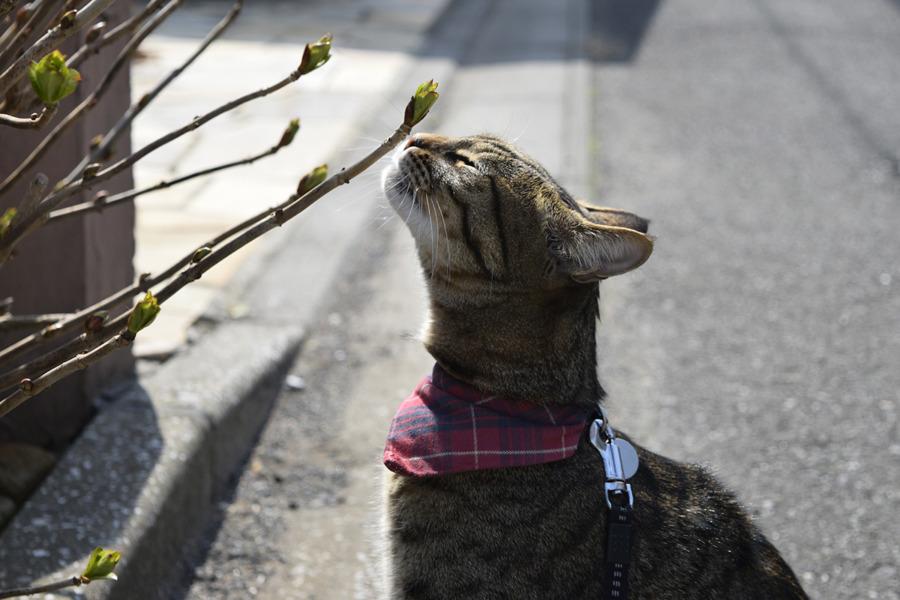 アジサイの新芽の匂いを嗅ぐ虎ノ介