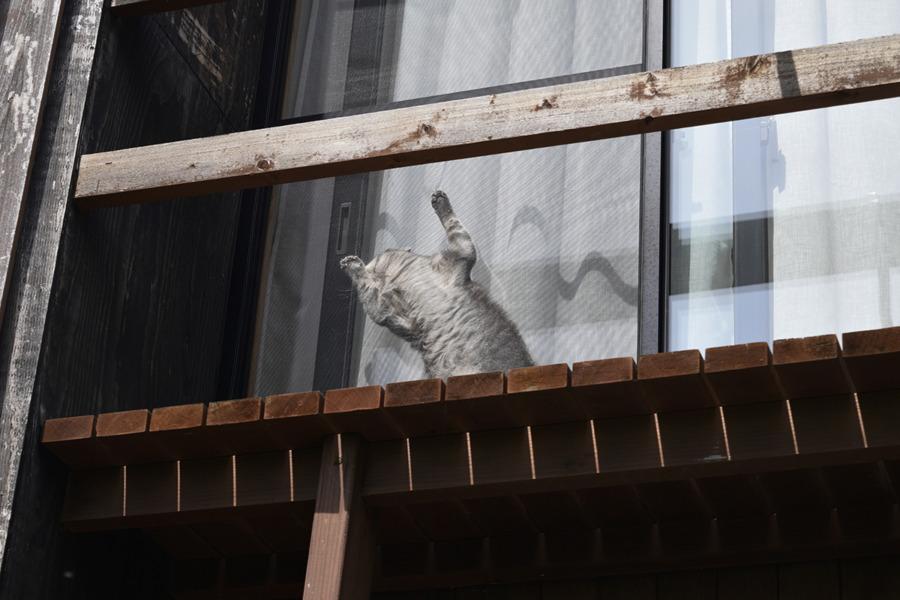 窓と網戸の間に挟まる春太