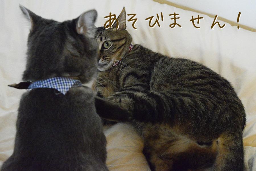 虎ノ介と遊びたくてじゃれつく春太