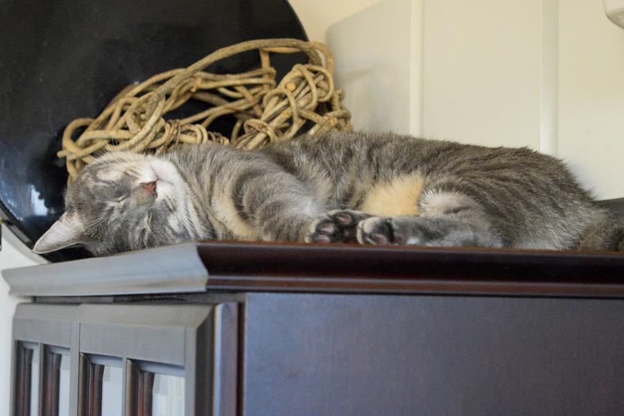 拗ねて高いところで眠る春太