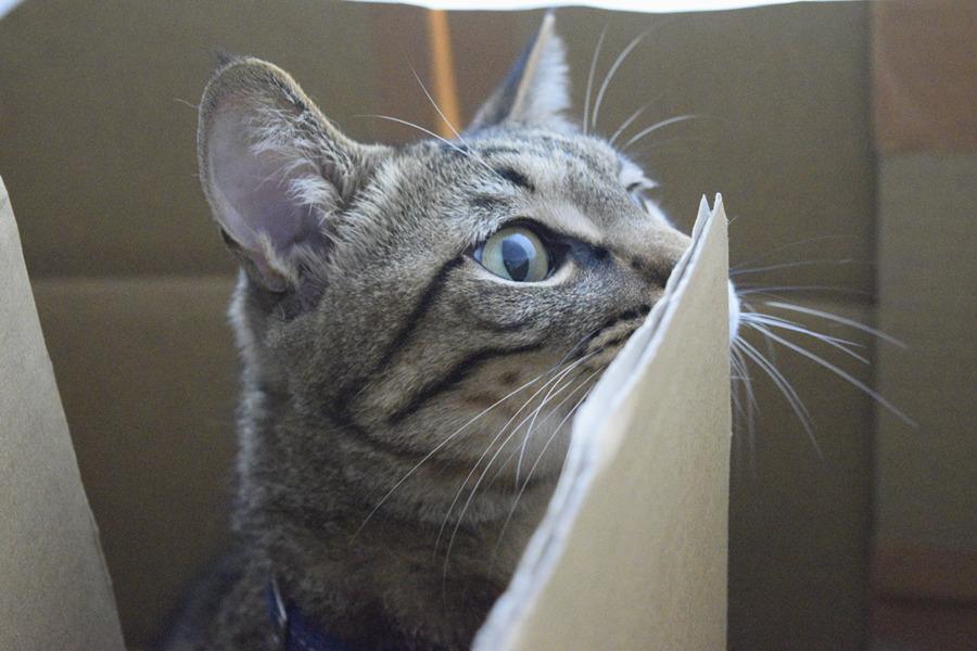 猫用迷路で遊ぶ虎ノ介