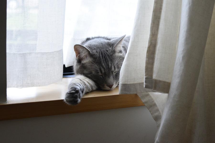 窓辺で昼寝をする春太