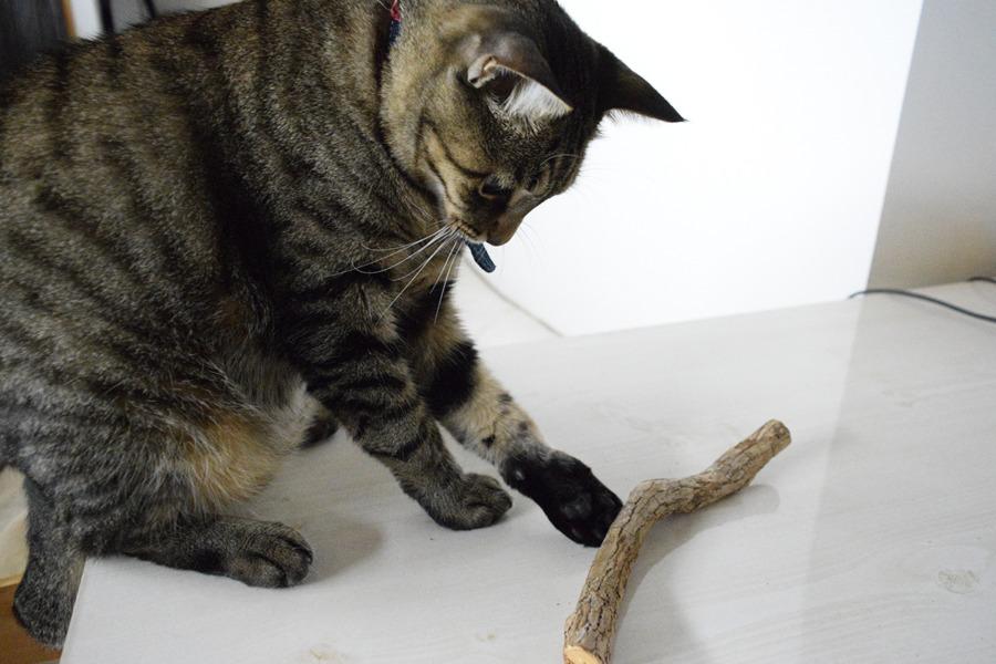 またたびの枝で遊ぶ虎ノ介