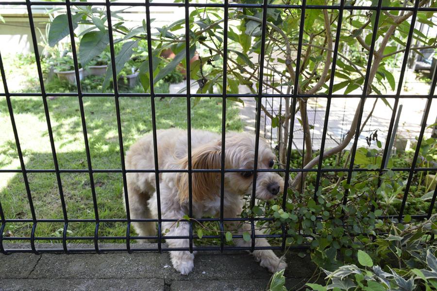 家から脱走して庭にでてきた隣の犬