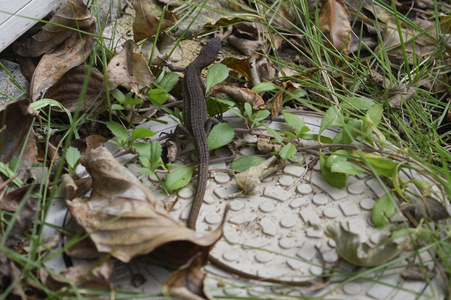 人間が戯れていたカナヘビ