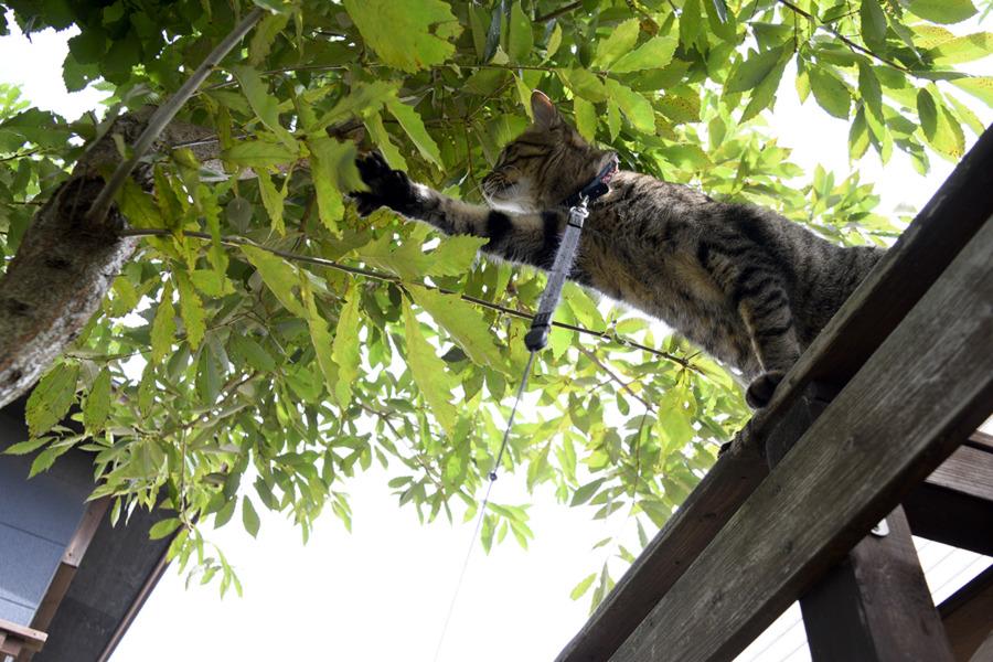 お家の木に飛び移ろうとする虎ノ介