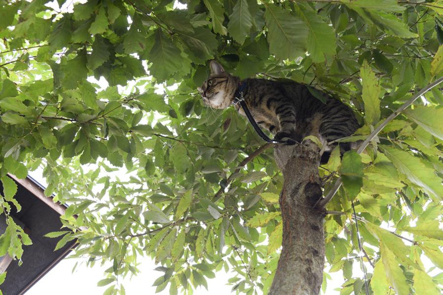 お家の木に登った虎ノ介