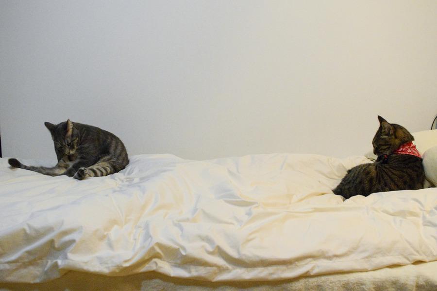 一つのベッドで毛づくろいをする虎ノ介と春太