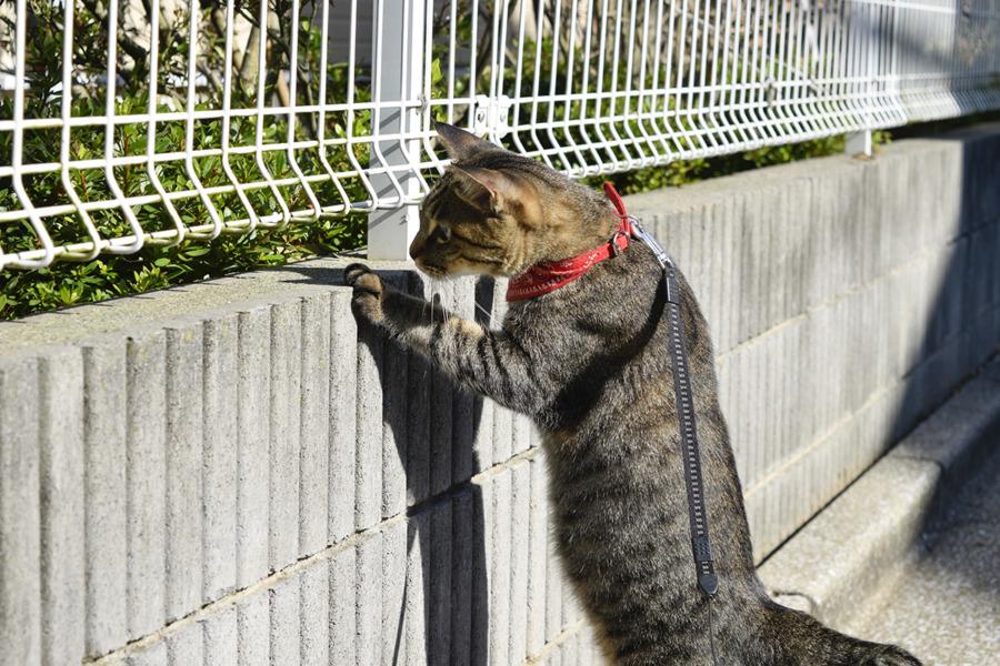 フェンス越しにカナヘビを狩ろうとする虎ノ介