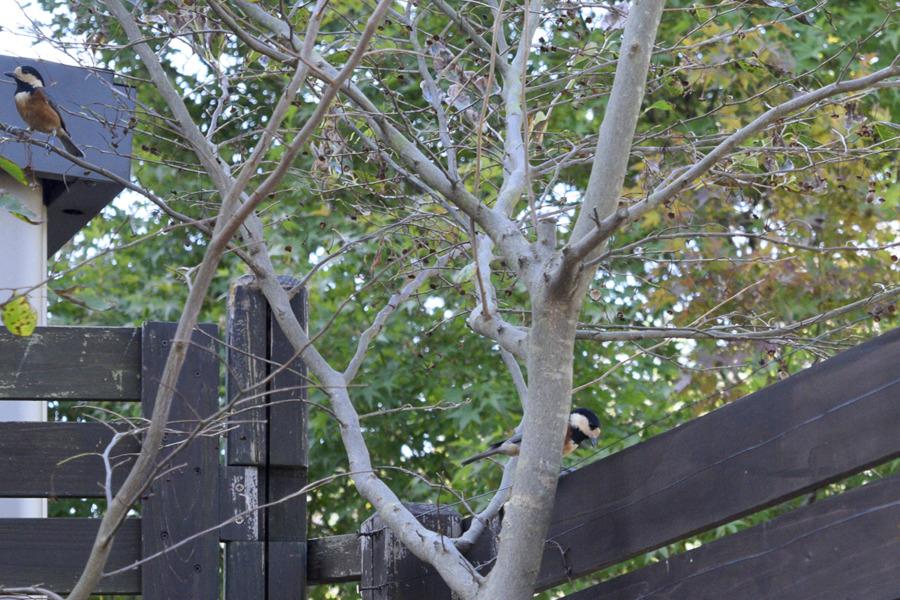 庭の木にとまるヤマガラ