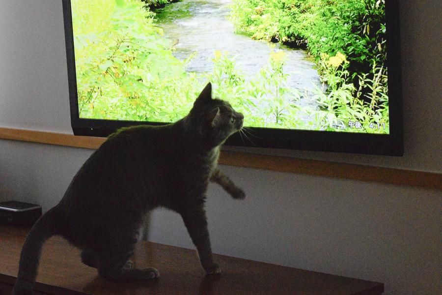 テレビの中の蝶々を追いかける春太