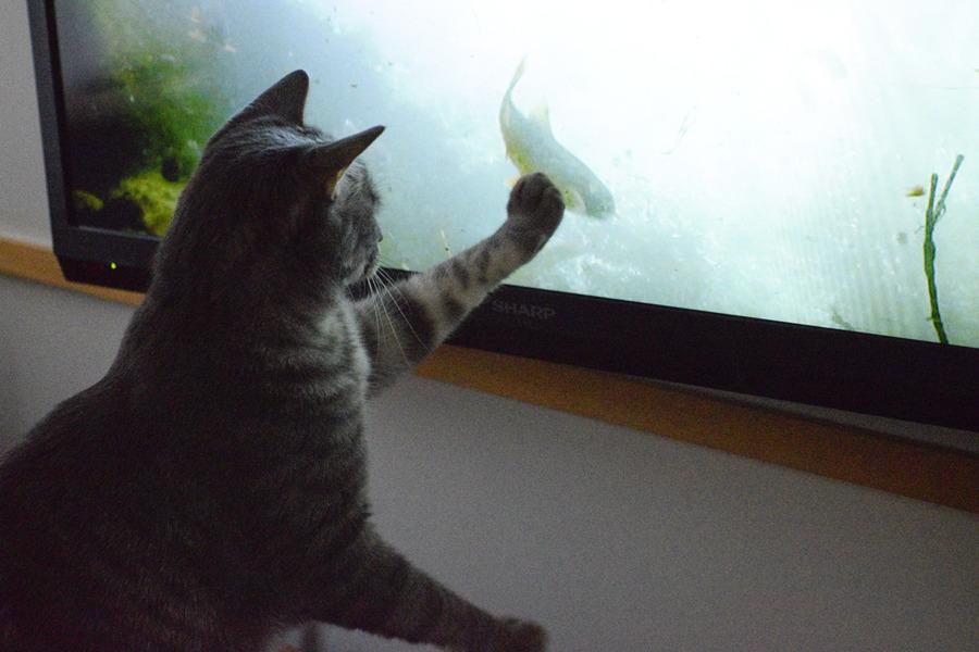 テレビの中の魚を捕まえる春太