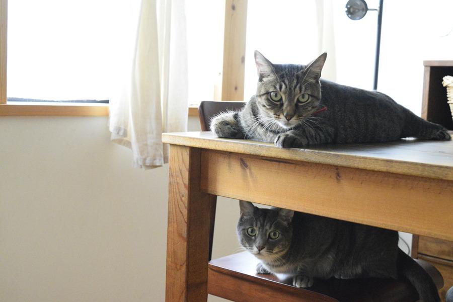 テーブルの上にいる虎ノ介と椅子の上にいる春太