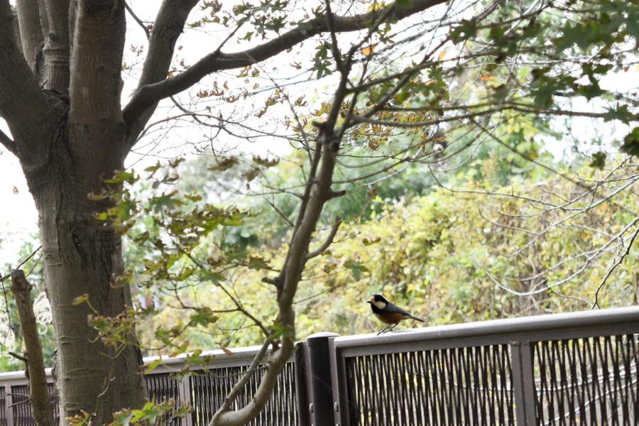 木に登った虎ノ介よりも低い位置に降りたヤマガラ