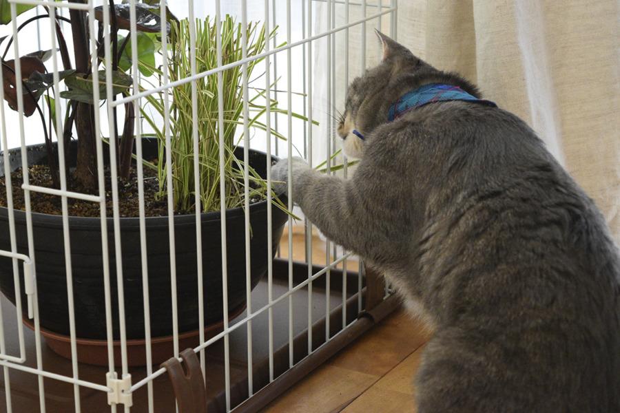 ケージの隙間から手を突っ込んで草を触る春太