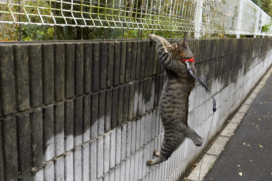 鳥の気配に気づいてブロック塀に飛び乗る虎ノ介