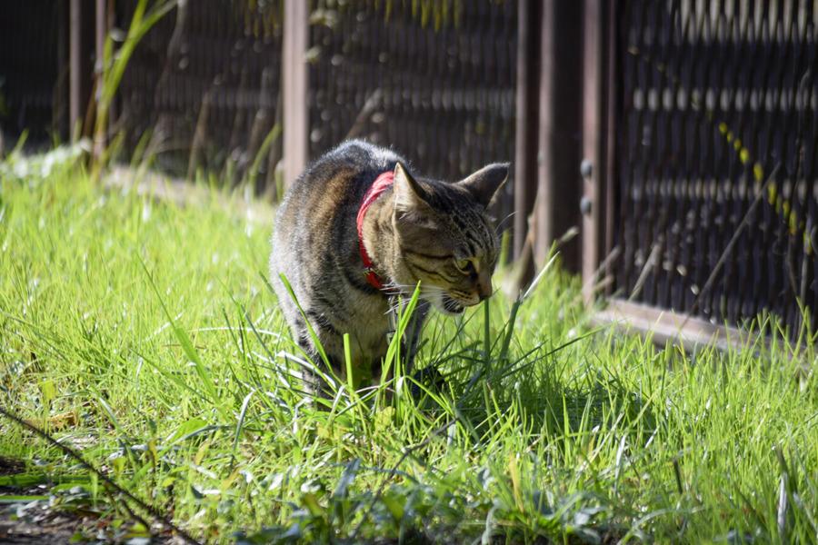 散歩中に草を食べる虎ノ介
