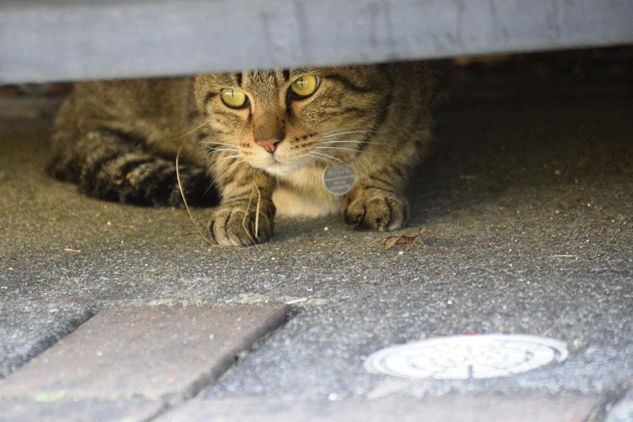 迷子札がついた知らない猫