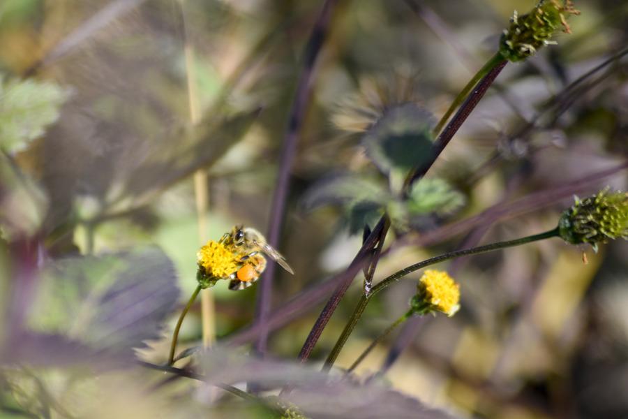 花粉をため込む蜂