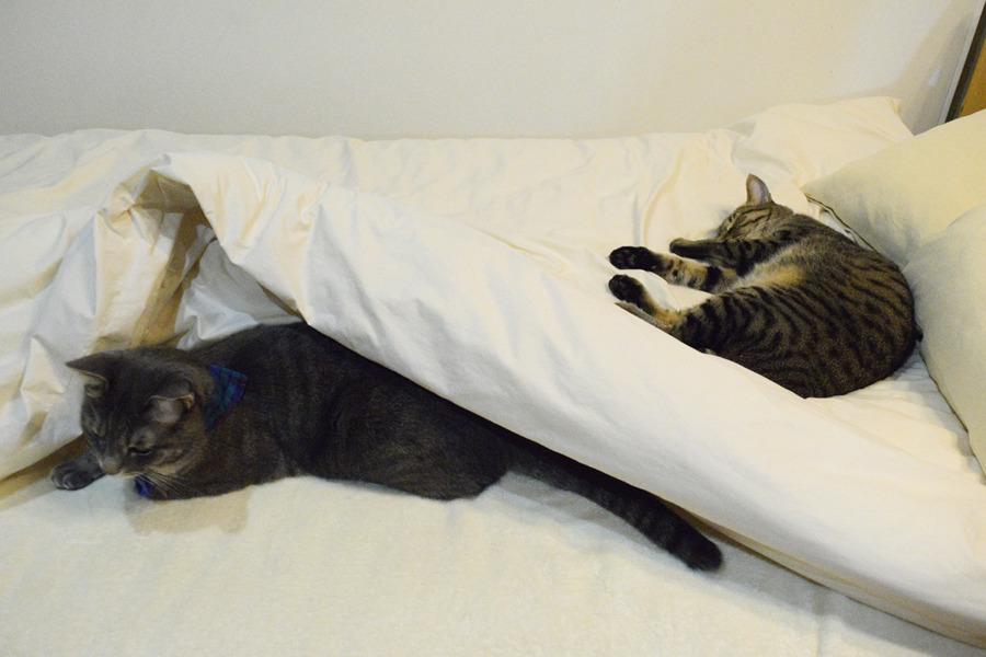 虎ノ介が寝ているベッドの布団の下にもぐる春太