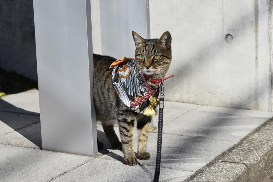 着物ケープを着て散歩をする虎ノ介
