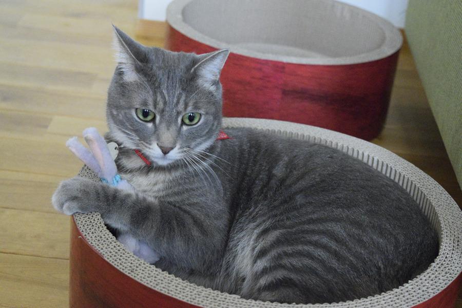 うさたんを抱っこして猫ベッドに入る春太