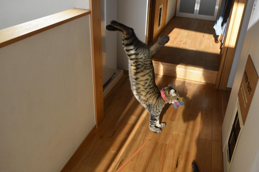 猫じゃらしを咥えて部屋に運ぶ虎ノ介