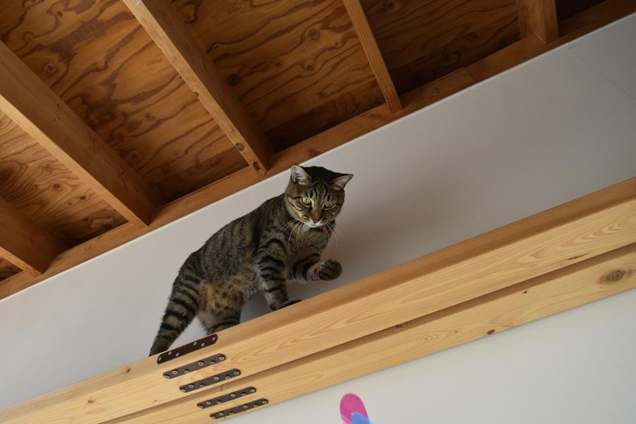 キャットウォークの上で遊ぶ虎ノ介