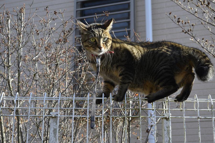 犬がきたのでフェンスの上に避難した虎ノ介