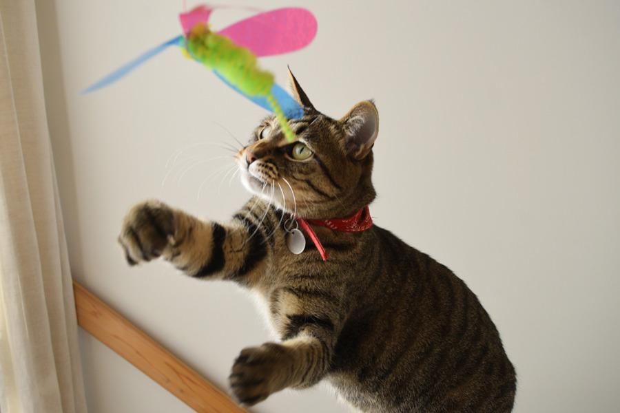 猫じゃらしで遊ぶ虎ノ介