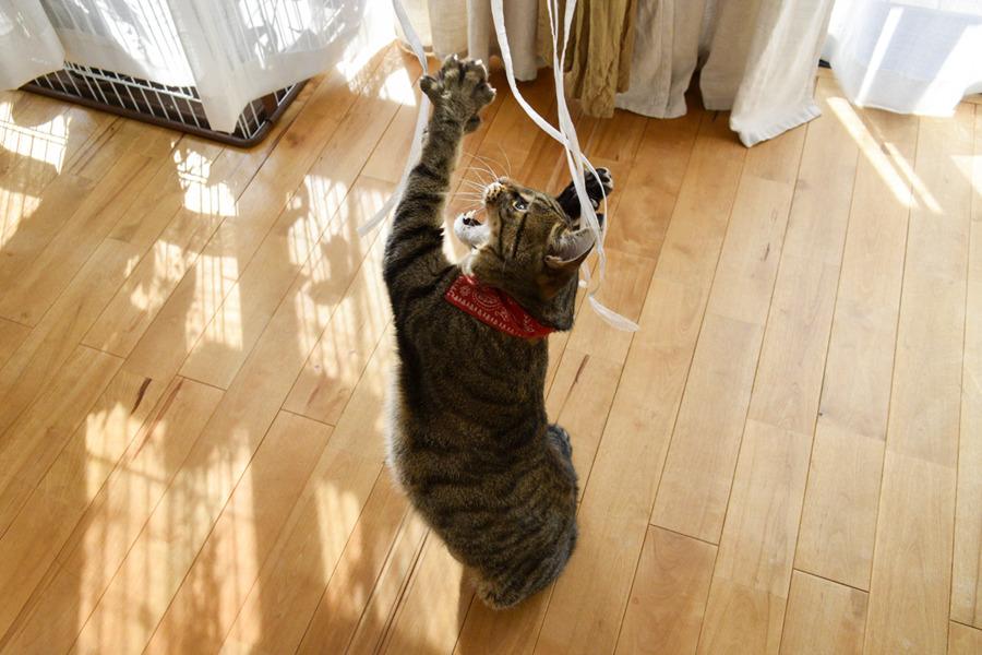 紐で遊ぶ虎ノ介