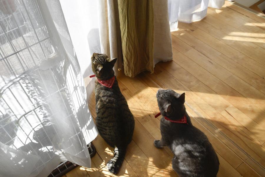 猫じゃらしで遊ぶ虎ノ介と春太