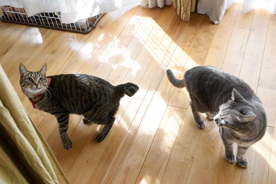 猫じゃらしを狙う虎ノ介とそれを見る春太