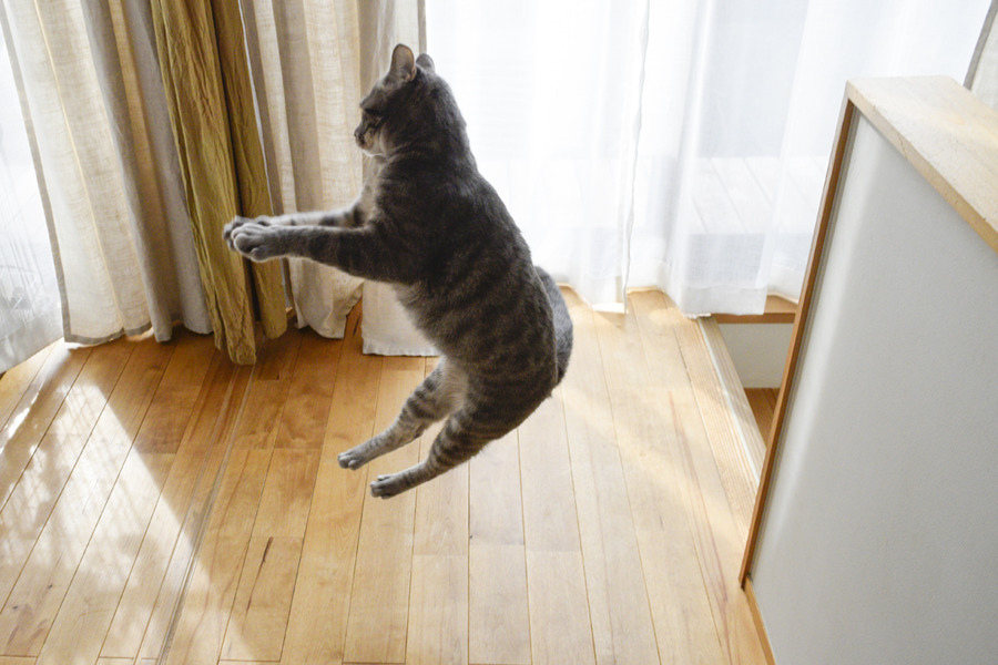 猫じゃらしで遊ぶ春太