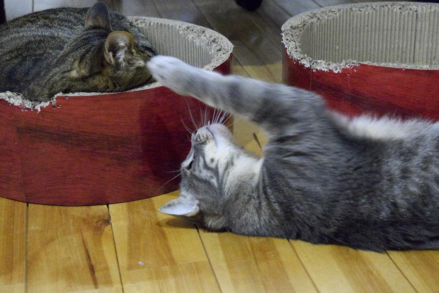 猫ベッドで眠る虎ノ介にちょっかいをかける春太