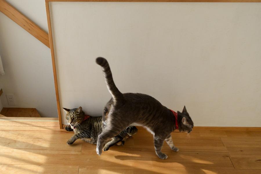 猫じゃらしで激しく遊び虎ノ介を踏んづける春太