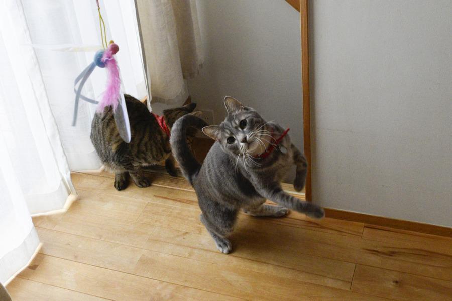猫じゃらしで激しく遊ぶ春太