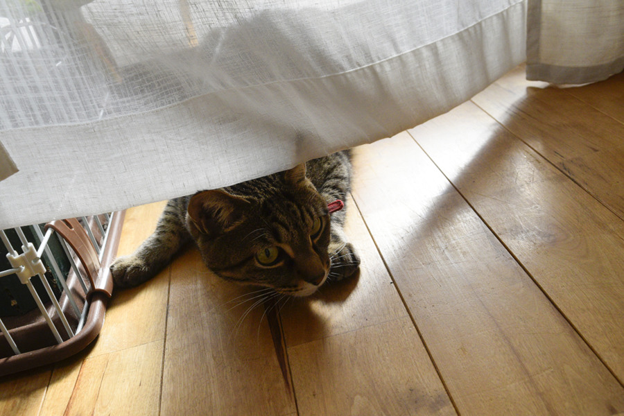 猫じゃらしを狙う虎ノ介