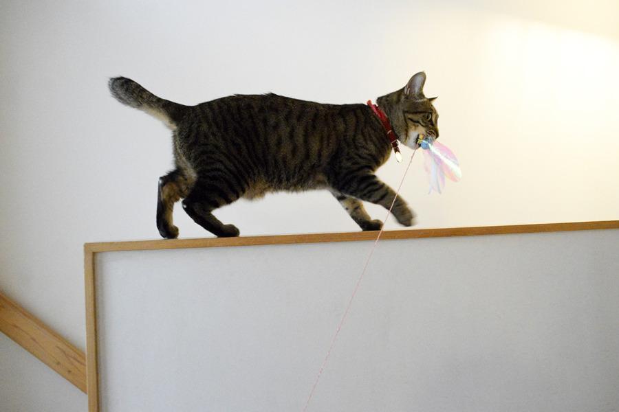 猫じゃらしを捕まえて部屋に持って帰ろうとする虎ノ介