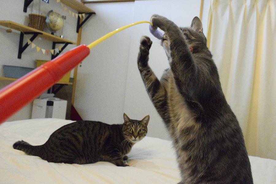 虎のおもちゃを横取りして遊ぶ春太と唖然とする虎ノ介