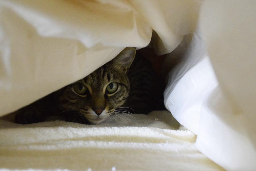お布団にもぐって昼寝する虎ノ介