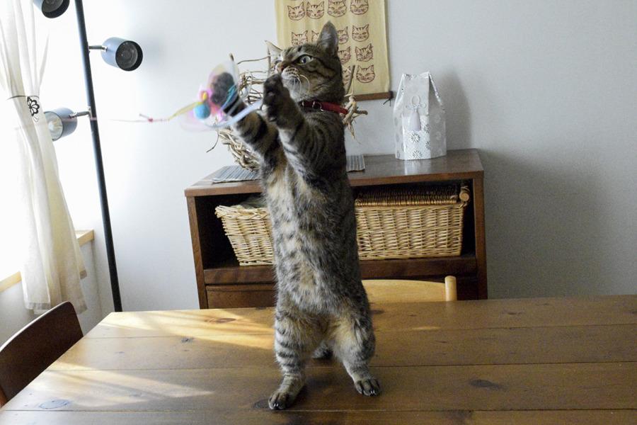 リビングで猫じゃらしで遊ぶ虎ノ介