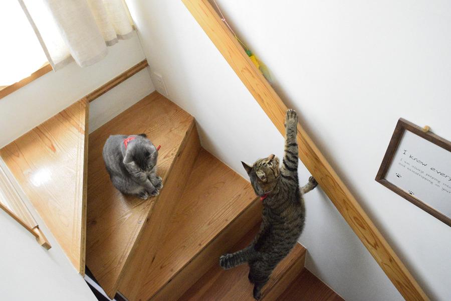 階段の手すりに挟まれた猫じゃらしを捕ろうとする虎ノ介と春太